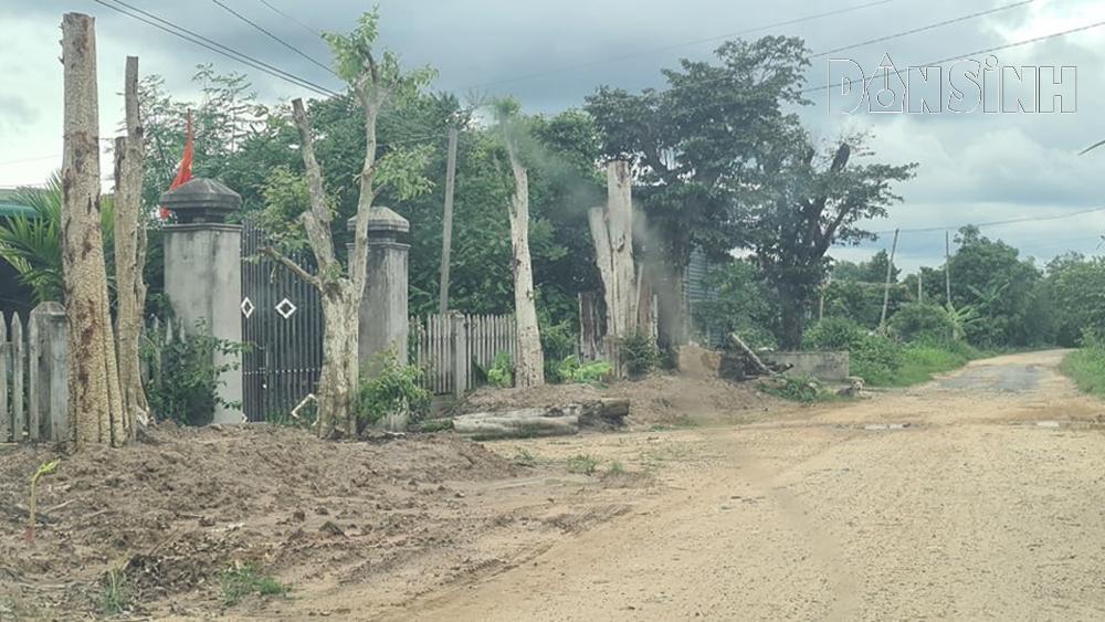 """Liên quan đến vụ trồng nhiều cây bằng lăng """"khủng"""" trong khuôn viên, chủ tịch UBND xã nói gì ? - Ảnh 2."""